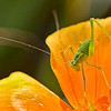 SPECKLED BUSH CRICKET by John Thompson ( Special Mention )