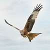 RED KITE - FROM CLAW TO BEAK by John Allen ( Special Mention )