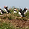 PUFFINS by Don Burns