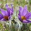 PASQUE FLOWER by Elsie Sinclair ( Commended )