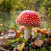FLY AGARIC, EPPING FOREST by John Allen ( 3rd )