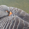 GREYLAG GOOSE by Pat Brown ( Special Mention )
