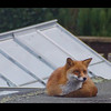 URBAN FOX by Peter Johnson ( Highly Commended )