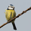 BLUETIT ON HAZEL TWIG  by Bob Millar ( Special Mention )