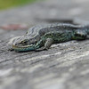 LACERTA VIVIPARA, THE COMMON LIZARD by John Burnett ( 2nd )