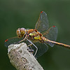 COMMON DARTER by John Burnett ( 2nd )