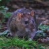 COMMON RAT by Alex taylor ( 2nd )