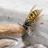 WASP DRINKING by John Allen ( Highly Commended )