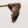 RED KITE by ROBERT MILLAR (Special Mention)