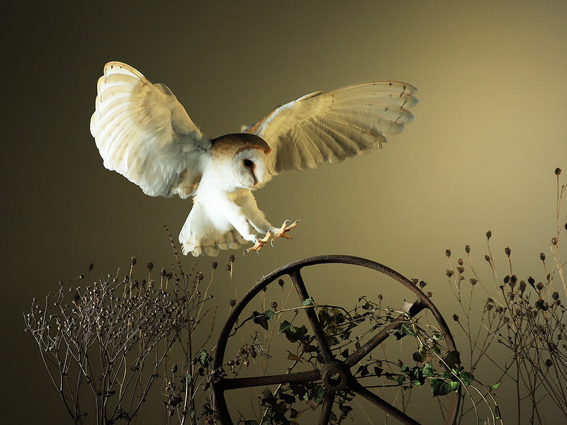 BARN OWL by ALEX TAYLOR  (1st )