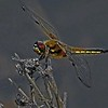 FOUR SPOTED CHASER by PETER JOHNSON (Special Mention)