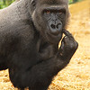 GORILLA by ALEX TAYLOR (Highly Commended)