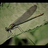 EMERALD DAMSELFLY by PETER JOHNSON (Highly Commended)