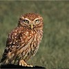 SMALL OWL by PETER JOHNSON ( Special Mention )