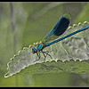 DRAGON FLY by PETER JOHNSON (2nd)