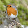 ROBIN by PAT BROWN ( Commended )