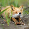 BABY FOX by ROBERT ALLEN ( Highly Commended )