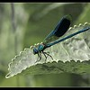 BANDED DAMSELFLY by Peter Johnson ( 3rd )