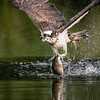OSPREY WITH CATCH by MIKE WILSON  (1st)