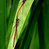 Mating Large Red Damsel Fly by John Burnett ( Highly Commended )
