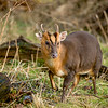 MUNTJAC by Robert Millar ( Highly Commended )