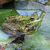 NORTH AFRICAN GREEN FROG by JOHN BROOKS ( Commended )