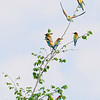 BEE EATERS by KEITH BEDFORD ( Highly Commended )