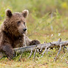 BROWN BEAR by KEITH BEDFORD ( 1st )