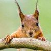 RED SQUIRREL by KEITH BEDFORD ( 2nd )