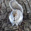 SQUIRREL by ZETA BULLMAN (Commended)