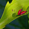 SCARLET LILY BEETLES MATING by JOHN BURNETT (Highly Commended)