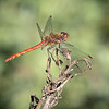 COMMON DARTER by PAUL TATMAN  (Highly Commended)