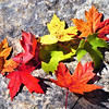 AUTUMN LEAVES by Carroll Gifford