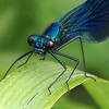 BANDED DEMOISELLE by Bryn Gibbons