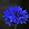 CORNFLOWER BLUE by Tony Hodgkins