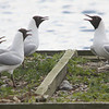 Gull Choir