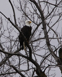 This shot was taken in Elmira, New York along the Chemung River.  We are just beginning to see this beautiful bird in our region.  I was very happy to get this pic my first chance at taking an eagle shot.  Hopefully, there will be many more  photo ops for me and others in this part of the country.....