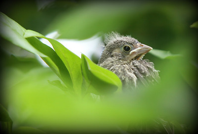 Julie's Baby Born in a nest on the front door of our home. On his first flight from the nest choose a tree nearby and gave me a perfect place to photogragh him.....