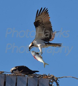 Osprey Caught Fish brings back to nest.