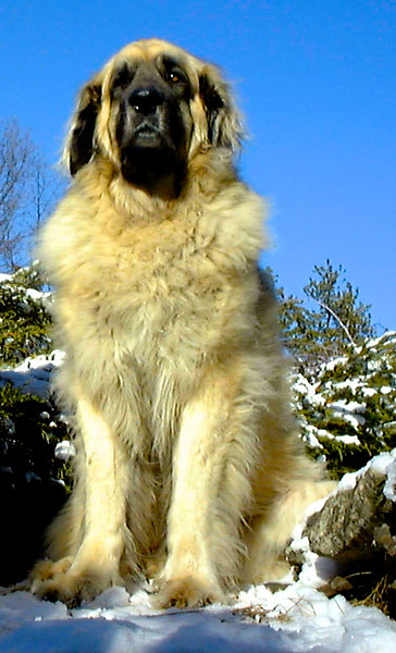 Our Leonbergers
