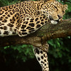 African Leopard Dozing