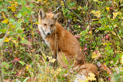 Red Fox along roadside - Waterton Lakes NP