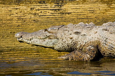 Saltwater Crocodile Portrait