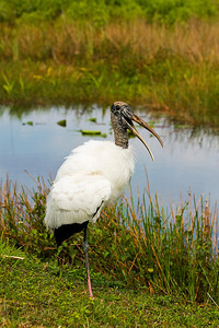 "Wood Stork ""Talking"""