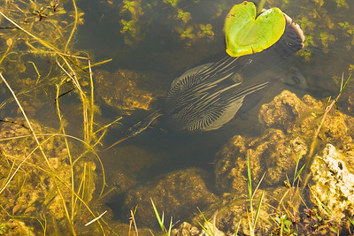 Anhinga Swimming Underwater