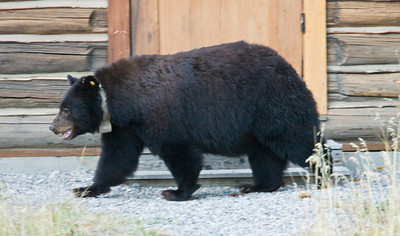 Radio-collared black bear walking by a cabin front door!