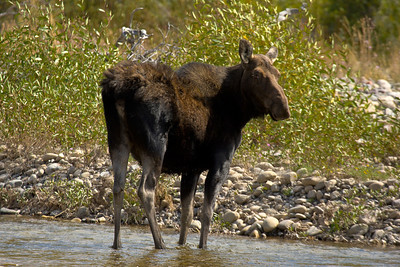Female moose near Gros Ventre River