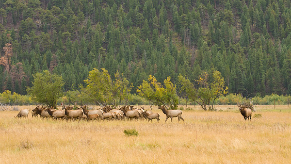 A bugling bull elk keeps his harem close together, less one stray off to another bull in the area.