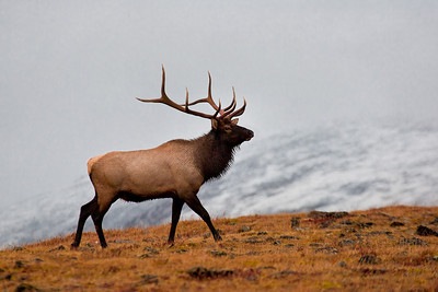 A bull elk at over 12000 feet near the top of Trail Ridge Road.