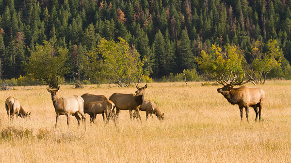 A video clip of a bull elk guarding his harem and bugling to them (as well as to other elk in the vicinity!)